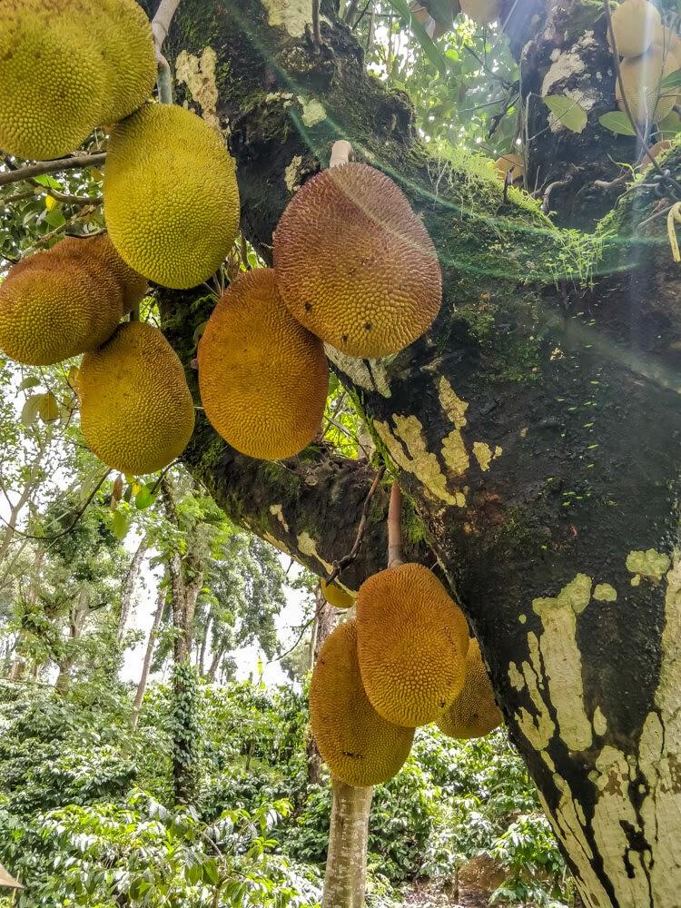 jackfruits+homestay+coorg+karnataka
