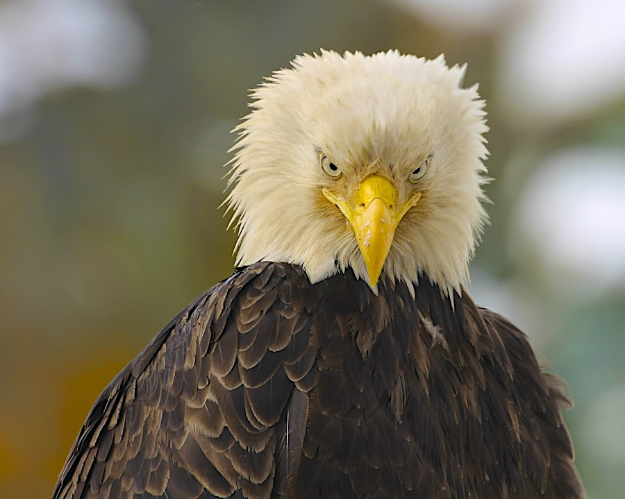 What now? by Capt Jack - Animals Birds ( amazing, fishing alaska, flight, wow, eagle, alaska, raptor, bering sea, bald eagles, birds, patriot )