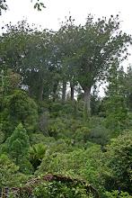"""Photo: Kauri Grove an der """"309"""" Road"""