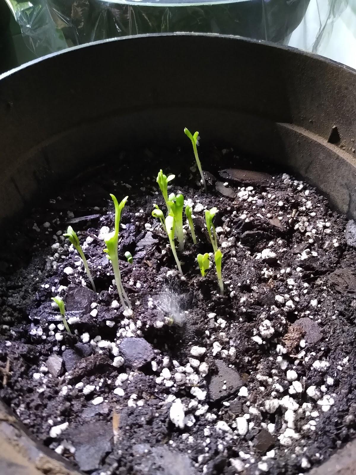 indoor tomato seedlings image
