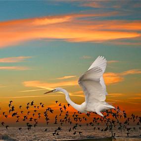 Great White Egret { Sunset Take Off }  by Jeffrey Lee - Animals Birds ( orange, red, blue, sunset, sunsets, great white egret,  )
