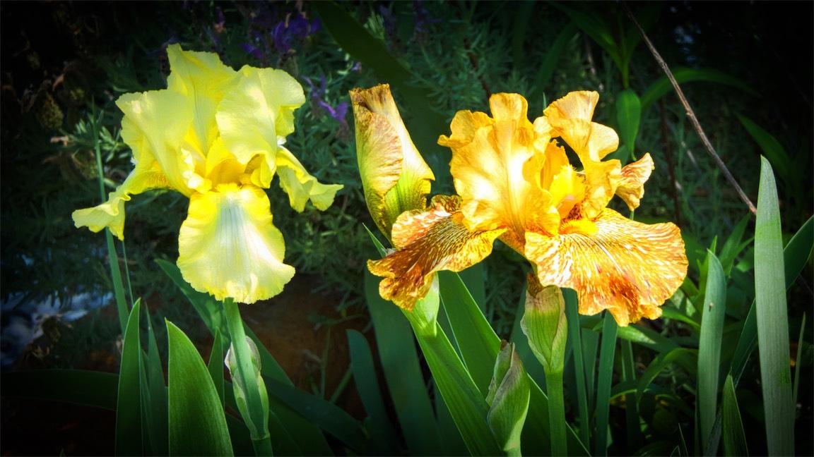 Performing Irises.jpg