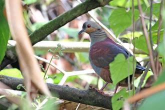 Photo: Crested Quail-Dove