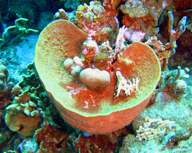 Photo: Sponge and coral intertwined
