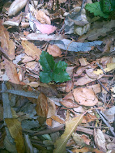 Photo: An oak seedling.