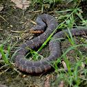 Blotched Water Snake