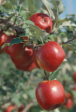 "Photo: Prairie Spy apple developed by the University of Minnesota, Agricultural Experiment Station.  Project #21-016, ""Breeding and Genetics of Fruit Crops for Cold Climates."".  Released in 1940."
