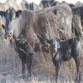 Cattle Mgmt in Limited Forage
