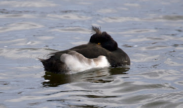 Photo: Tufted duck