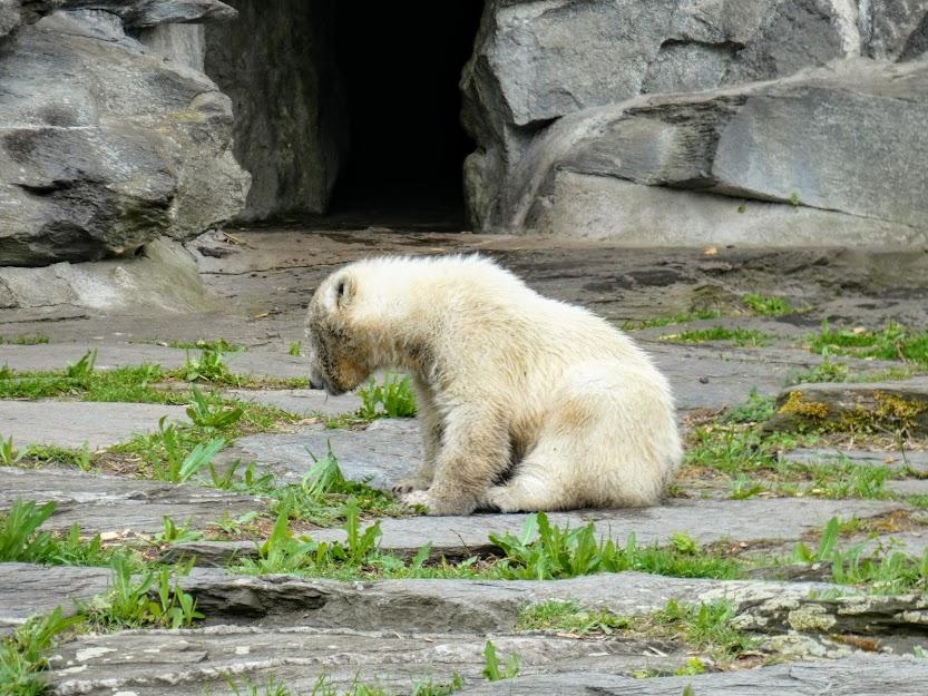 Młody niedźwiedź polarny