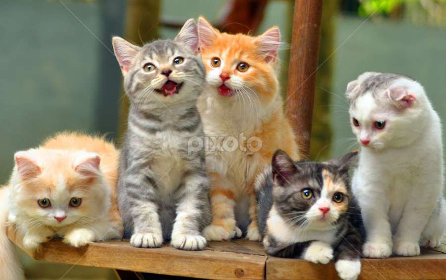 the scotish goup by Cacang Effendi - Animals - Cats Kittens ( cats, cattery, kitten, chandra, cutest cats, animal, pwc84 )
