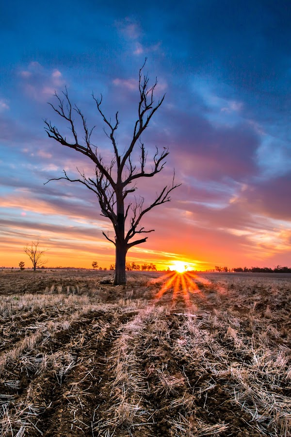 W  E  S  T by Andy Smiff - Landscapes Prairies, Meadows & Fields ( tree, sunset, australia, gunnedah, west )