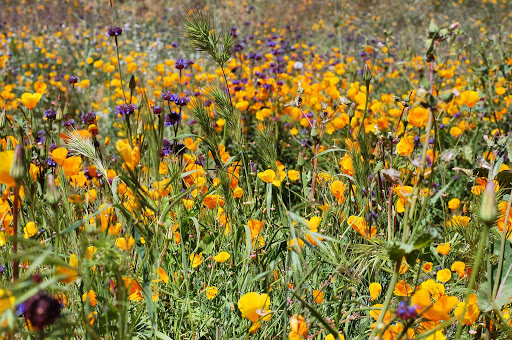 poppies4.jpg - If you want a really spectacular display of poppies, head up the I-15 to Lake Elsinore.