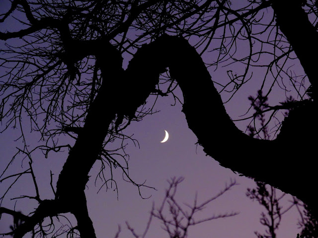 Crooked cottonwood tree and crescent moon
