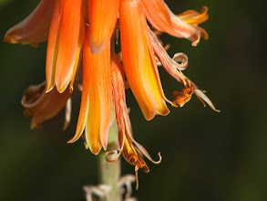 Photo: Calling for Quote - Another image of a section of a tall stalk with orange flowers, aloe plant.  This composition seemed just right for an inspiration quote.  Golden Hour in central Phoenix.