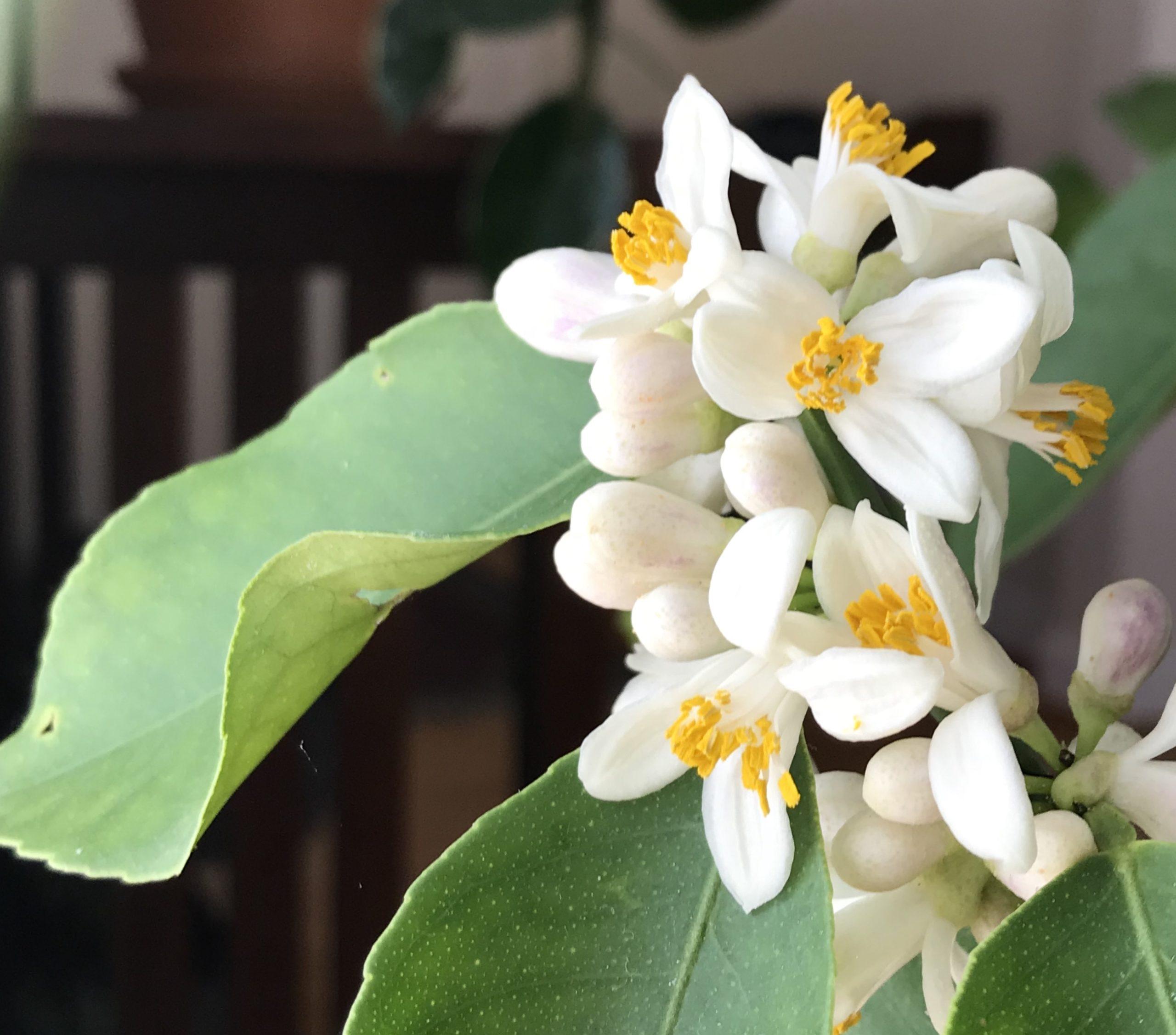 lemon-flower-scaled