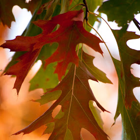 Oak Leaves in Fall by Susan Grefe - Landscapes Forests