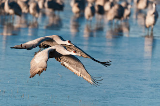 Photo: Sandhill crane duo takes off; Bosque del Apache