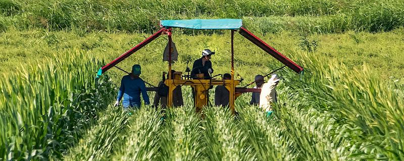 coltivazione della canna da zucchero di walterferretti