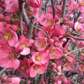 by Corali Reciful - Flowers Tree Blossoms (  )