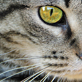 Pretty Kitty by Chrysta Rae - Animals - Cats Portraits ( purr, cat, cat's eye, yellow eye, pet, whiskers, striped cat, fur, kitty, eye, animal )