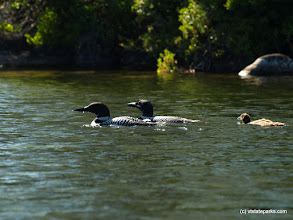 Photo: Family of loons at Kettle Pond State Park by Matt Parsons