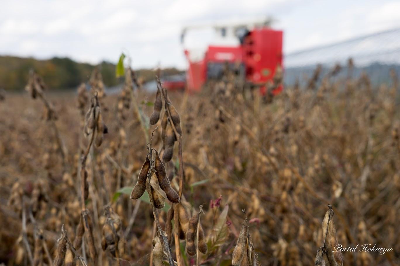 枯れて収穫を待つ大豆