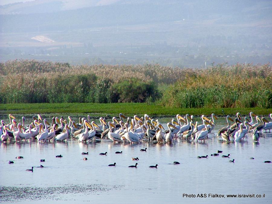Пеликаны. Остановка на осеннем перелете в долине Хула.