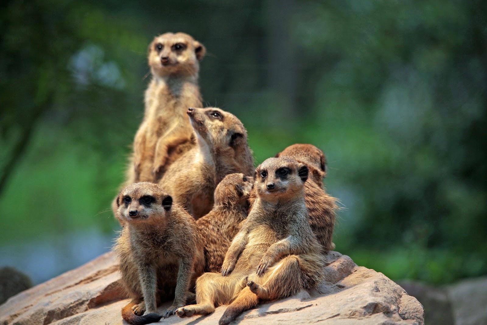 Mob of meerkats