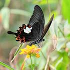 Papilio helenus 玉斑鳳蝶