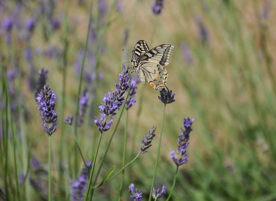 Le prime farfalle.. di Wilmanna