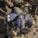 California mussel