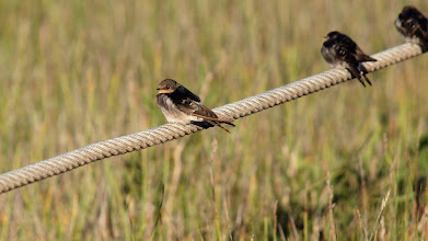 Photo: Welcome Swallows
