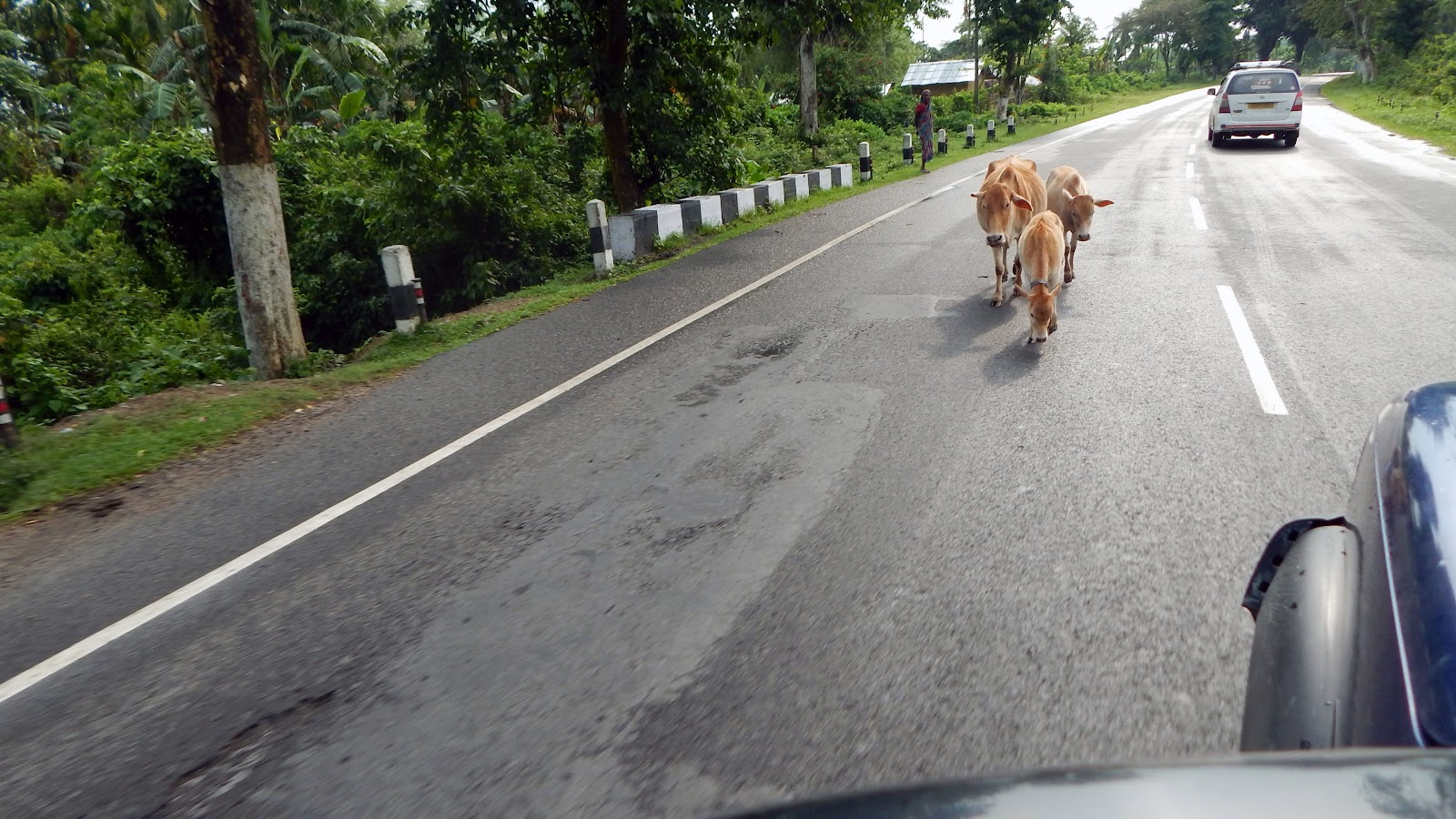 The road cow