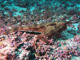 Photo: #043-Le Red Lipped Batfish de Cocos (2010)