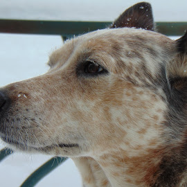 Dogs by Melissa Batten - Animals - Dogs Portraits ( potrait, animals, snow, dog, outside )