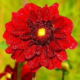 Red dalhia by Gérard CHATENET - Flowers Single Flower