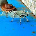 Lichen catydid