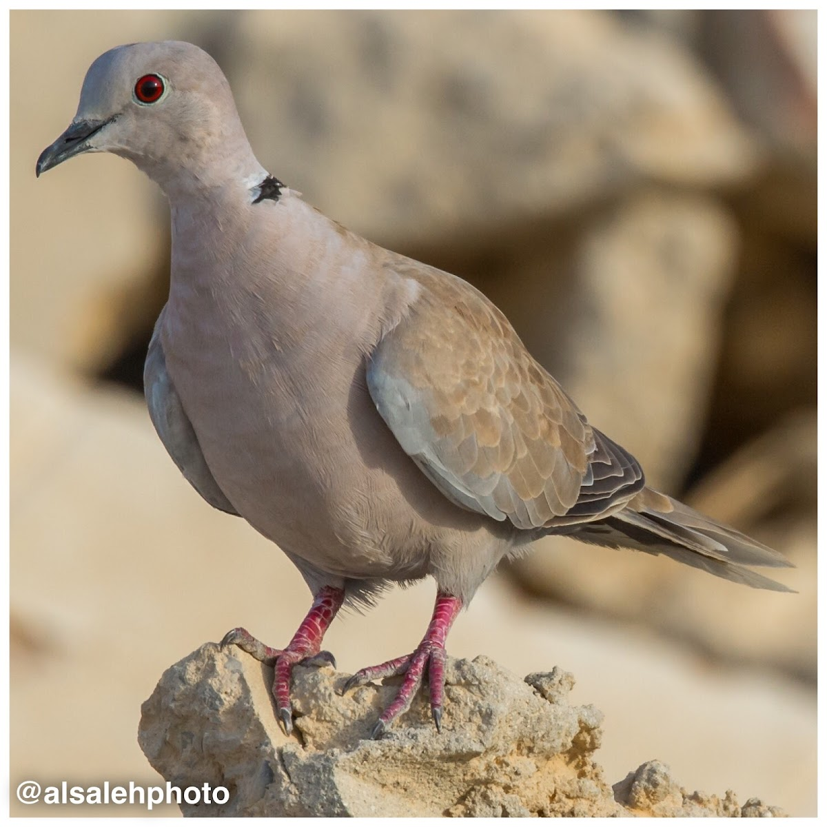African Collared Dove.