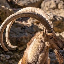 Alpine Ibex by Bert Templeton - Animals Other Mammals ( deer, stag, alpine, france, texas, ibex, horns, europe,  )