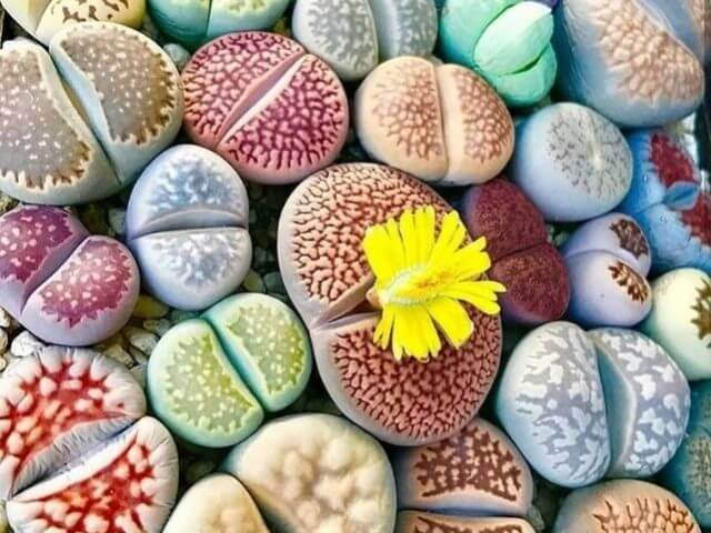 Cactus Piedras vivas