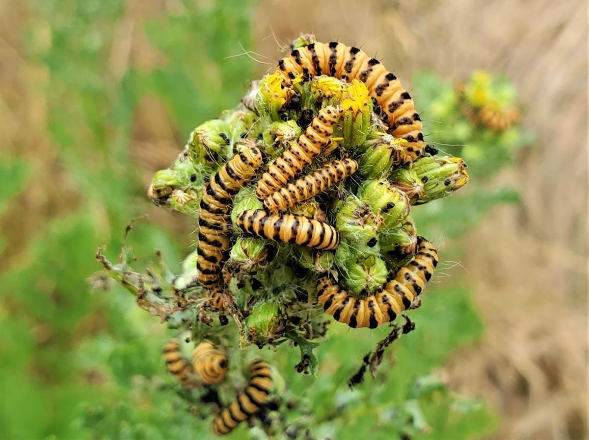 Cinnabar moth (larvae)