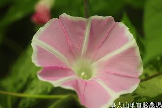 Photo: 拍攝地點: 春陽-可愛植物區 拍攝植物: 朝顏(牽牛花) 拍攝日期: 2014_07_02_FY