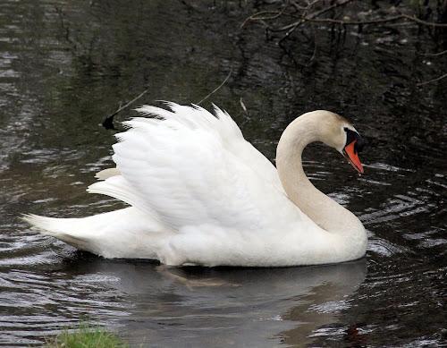Swan... by Susanne Carlton - Animals Birds (  )