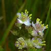 Fewflower Meadow-rue