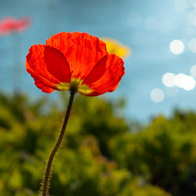 Papavero by Mariateresa Toledo - Nature Up Close Flowers - 2011-2013 ( poppy, papavero )