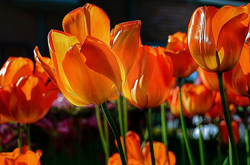 tulipani...che passione!! di utente cancellato