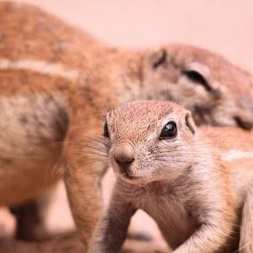 Ground Squirrels in the Kalahari by Clarissa Human - Animals Other Mammals ( squirrels, cute, africa, squirrel, closeup,  )