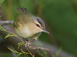 Photo: Red-eyed vireo - Quintana Spring 2012
