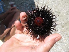 Photo: a sea urchin...